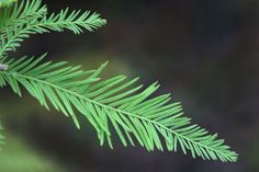 Cypress Essential Oil Certified Organic Exporter Benefits: rheumatism, poor circulation, asthma, bronchitis, menopause, colitis, prostate, ...Price: $8.75