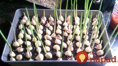 Nekupujte drahý cesnak v obchode: Najzdravší domáci cesnak vypestujete jednoducho na parapete!