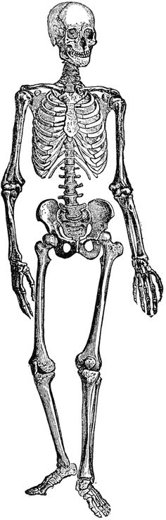 Awesome Free Old Drawing Clipart...More then just a skeleton.