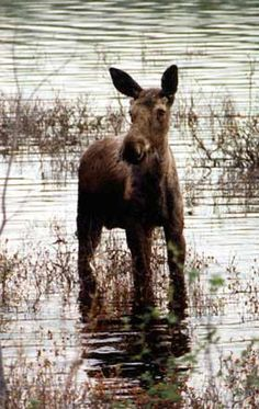 Baby moose in Maine