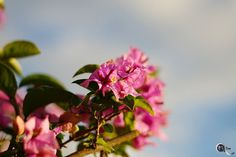 Simply #flowers in #pink -  #Colors_Of_Sardinia #life_in_colors #little_things #nikontop #nikonphoto_ #andreaturno