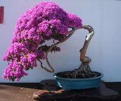 Houseplants That Filter the Air We Breathe Bonsai Hoa Giy Ikebana, Plantas Bonsai, Bougainvillea Bonsai, Bonsai Trees, Indoor Bonsai, Mini Bonsai, Miniature Trees, Bonsai Garden, Growing Tree