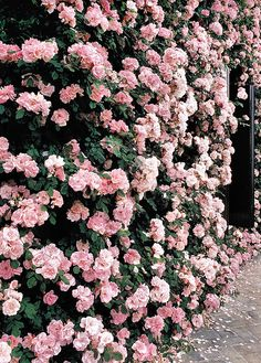 Wall of pink flowers.....maybe lining a long driveway or surrounding a beautiful patio