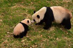 https://flic.kr/p/mHxFir   Bao Bao - Panda cub   140402 cd 512