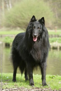Belgium Shepherd: Taller version of the German shepherd. These dogs have a more wolf-like appearance and can be used as police dogs, However, their loyal nature and willingness to learn makes them great obedience dogs. These leggy dogs are also great at search and rescue.