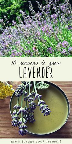 Lavender is a great plant to grow and cultivate. Not only is it beautiful, but its incredibly useful too! Lavender is both edible and medicinal, as well as easy to grow in containers or in your backyard garden. Here are 10 reasons to grow lavender, and ways to use lavender in your kitchen or your herbalism practice. #lavender #herbalism