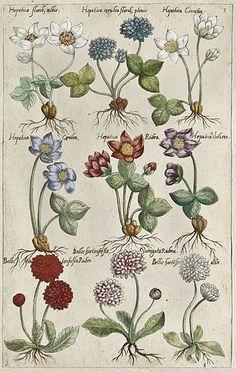 Plate from Florilegium Amplissimum et Selectissimum (1612) Emanuel Sweert (1552-1612).  http://www.theantiquarium.com/emanuel-sweert  Wikimedia