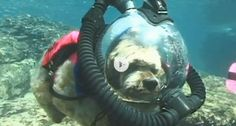 Not all furry friends like to scuba dive, but Muttley and Hawkeye love exploring the water with their owner! Check out this video of scuba diving pets from Animal Planet.