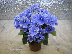 African Violet - Honey Blue Angel