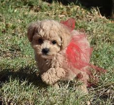 Maltipoo, Yorkie, Best Puppies, Dogs And Puppies, Pet 1, Teacup Puppies, Fort Worth, Maltese, Small Dogs