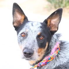 *AMBER - ID#A765192  Shelter staff named me AMBER.  I am a female, black and blue Australian Cattle Dog.  The shelter staff think I am about...