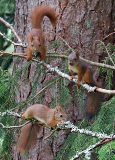 Three young Red squirrels/ekorrar.
