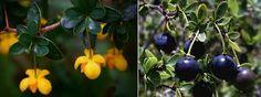 Flor y fruto de Berberis Buxifolia,Heterophylla ó Microphylla