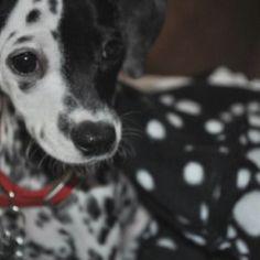 Mini Dalmatians Puppy for Sale GA Puppy's Adoption