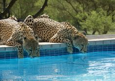 Hunter and Floppy quench their thirst in the swimming pool of the Tshukudu Game Lodge in S...