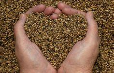Semillas de cáñamo, más que una semilla.