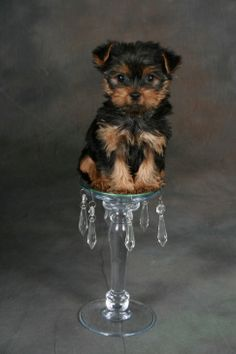 Love the idea of doing this but on a shorter larger platter with pillows maybe? Teacup Yorkie, Yorkie Puppy, Teacup Puppies, Adorable Puppies, Cute Dogs, Cutest Dog Ever, Puppies And Kitties, Yorkshire Terriers, Small Dog Breeds