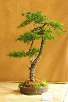 Image result for larix decidua bonsai