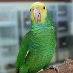 Yellow Headed Amazon (Parrot). Saw it on someone's shoulder. Still counts!