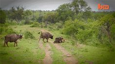 Water buffalo saves fellow buffalo from a lioness.