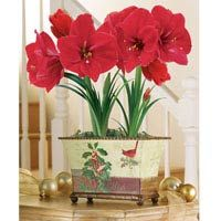 Vintage Holiday Red Amaryllis - 2-in-1 Container
