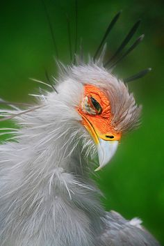 A secretary bird at Burger's Zoo, Arnhem, the Netherlands. Just love the chaotic look of this bird! But don't let it's name & looks fool you: it is a bird of prey!