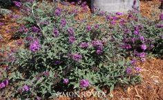 Monrovia's Flutterby Petite® Blue Heaven Butterfly Bush