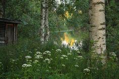 Herkkupurkki: valokuva, summer night, Finland, sun set, birch, landscape, brooke
