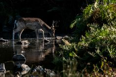 https://flic.kr/p/MNw67E | Fallow buck paddle | Just one from a lovely day at Bradgate Park, Leicestershire checking out the Deer Rut.