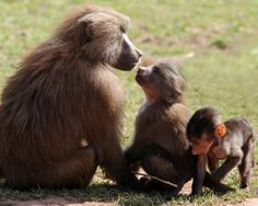 """An endearing family portrait of a Hamadryas baboon mother with young. This species is also knowns as the 'sacred baboon' as it played a role in ancient Egyptian religion. However, the photographer notes, """"The Hamadryas Baboon has been exterminated from Egypt, and is much reduced in other areas of the world. It is found mainly in Ethiopia and Somalia, Saudi Arabia and Yemen."""""""