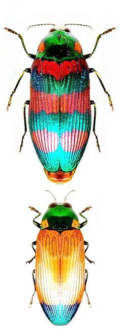 Temognatha conspicillata, female and male