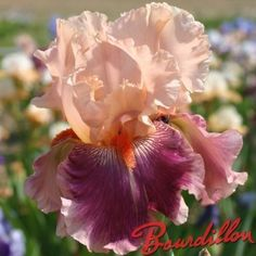 Iris : CHERRY BLOSSOM SONG