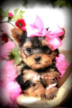 Some of the Tiniest, Most Beautiful Teacup Yorkie Puppies in the World! Teacup Yorkie and Small Toy Yorkies for Sale. Micro Teacup Yorkie, Teacup Yorkie For Sale, Maltese Puppies For Sale, Yorkies For Sale, Yorkie Puppy For Sale, Teacup Puppies For Sale, Chihuahua Puppies, Teacup Pomeranian, Super Cute Puppies