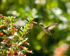 honeysuckle and hummingbrd