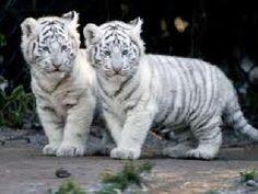 white tiger cubs - my fav big cats! Rare Animals, Cute Baby Animals, Animals And Pets, Funny Animals, Wild Animals, Animal Babies, Unusual Animals, Cutest Animals, Animals Images