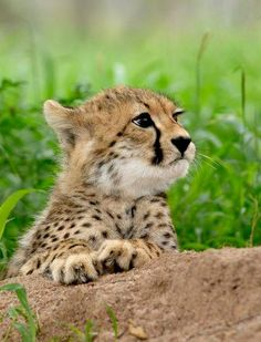 Cheetah cub at rest #cuteanimals #babyanimals