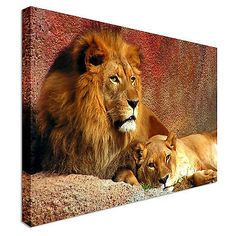 Animal lion and lioness #resting #canvas art cheap wall print home #interior,  View more on the LINK: http://www.zeppy.io/product/gb/2/181771018910/
