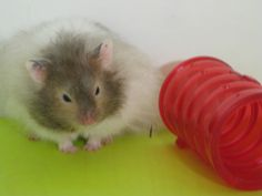 My hamster Alex! (Long Haired Syrian)