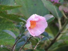 サザンカ. Camellia sasanqua. 6 November 2016.