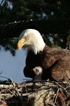 Baby Animals Pictures, Cute Baby Animals, Animal Babies, Beautiful Birds, Animals Beautiful, Photo Aigle, Aigle Animal, Big Bird, Birds Of Prey