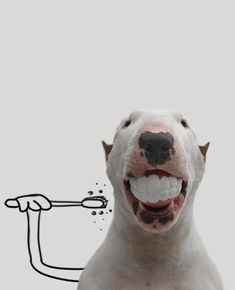 Among the dogs, the Bull Terrier is playful and endearing, sometimes stubborn, but always devoted to his owner. Bull Terriers Anglais, English Bull Terriers, Funny Animal Pictures, Funny Animals, Cute Animals, Animals Dog, Cute Puppies, Cute Dogs, Dogs And Puppies