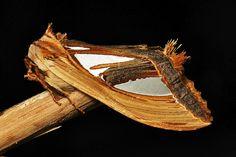Prominent Moth (Tarsolepis taiwana, Notodontidae) | Flickr - Photo Sharing!