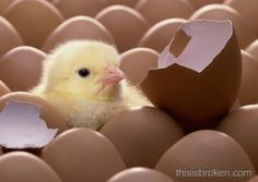 I miss raising chickens