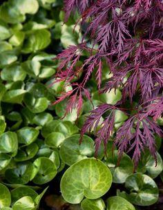 Hasselört & Japansk blodlönn (skugga). Vintergrön marktäckare. Sätt plantorna ganska tätt eftersom de växer långsamt i starten.