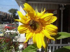 Sunflower and a bee Bee, Nature, Plants, Bees, Flora, Plant, The Great Outdoors, Mother Nature, Planting