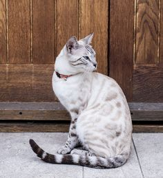 Bengal Cat Names - 200 ideas for naming your kitten, . - Bengal Cat Names – 200 ideas for naming your kitten, Bengal - Pretty Cats, Beautiful Cats, Cute Cats, Adorable Kittens, Burmilla, Bengal Cat Names, Bengal Cats, Silver Bengal Cat, White Bengal Cat