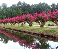 The crepe myrtle shrubs will reach a maximum mature height of around 20 to 30 feet. This is a big shrub when it reaches its height. There are varieties to use. Crepe Myrtle Landscaping, Driveway Landscaping, Acreage Landscaping, Outdoor Landscaping, Garden Shrubs, Garden Trees, Fruit Garden, Trees And Shrubs, Flowering Trees