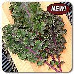 Organic Curly Roja Kale