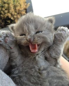 cute russian blue kitten paws up happy smile <3