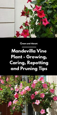 Mandevilla Vine Plant Tips for Waxing Grooming Repotting and Pruning # Hair # . Mandevilla Vine Plant Tips for Waxing Grooming Repotting and Pruning # Hair Flowering Vines, Container Gardening, Clematis Vine, Plant Care, Orchids, Mandeville Plant, Trellis Plants, Plants, Planting Flowers